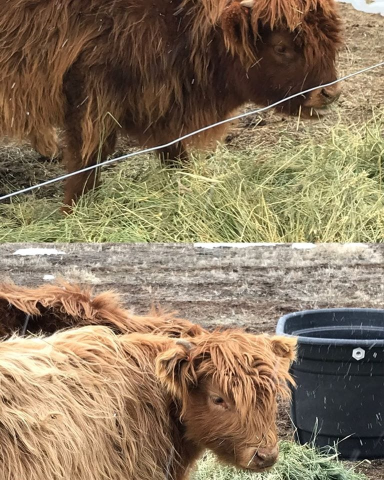 scottish highland cows mesa winds farm and winery