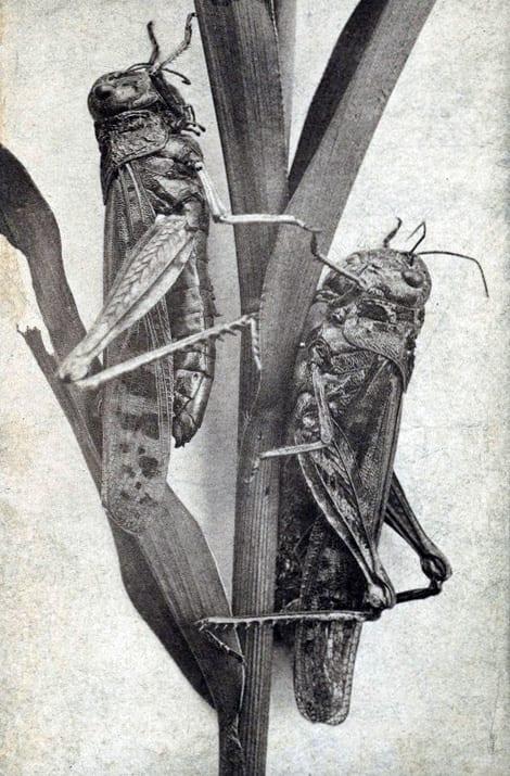 Rocky Mountain Locusts Minnesota 1870s