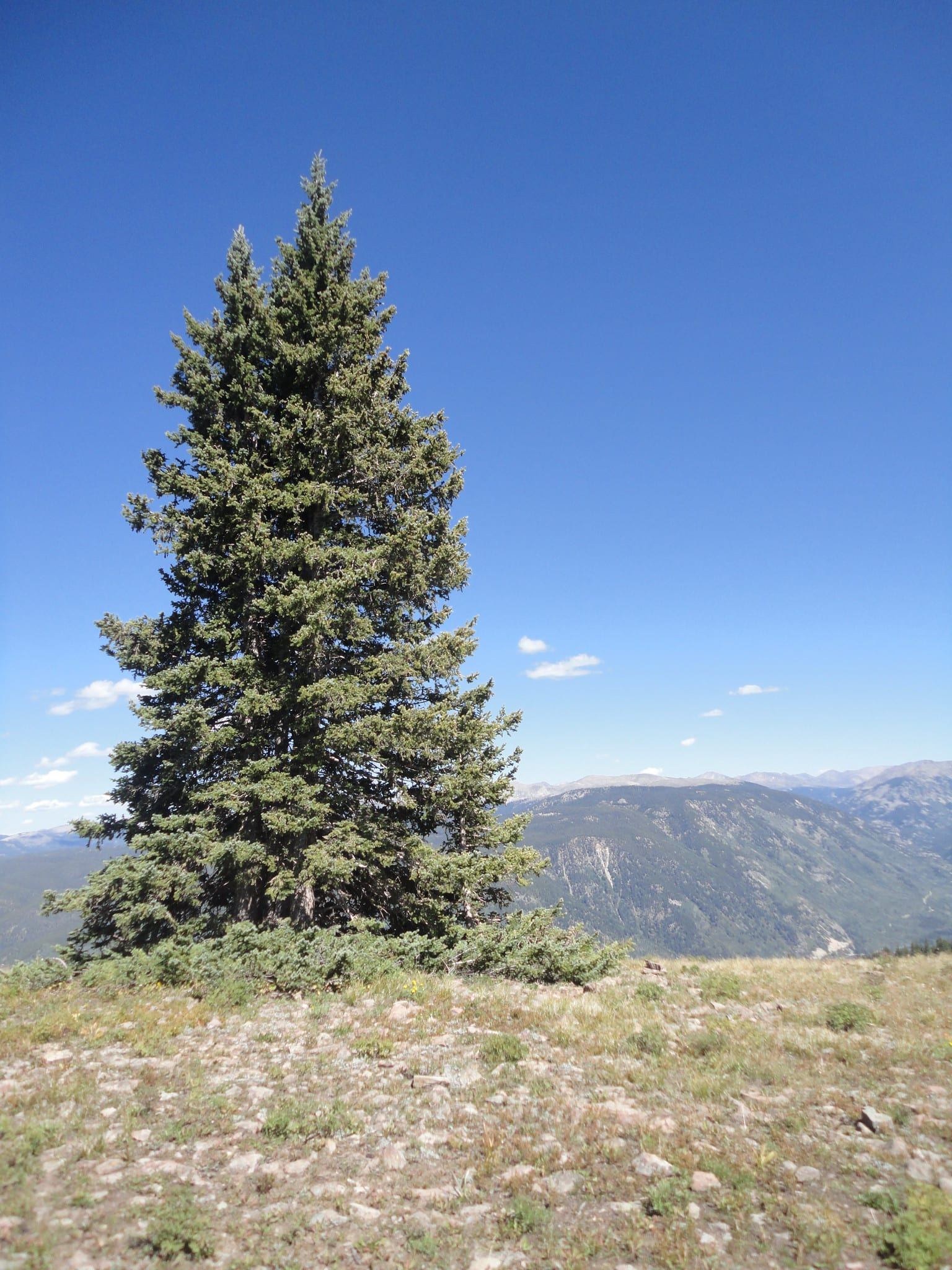 douglas fir in Colorado