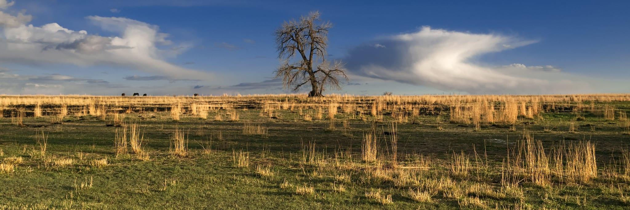 Plains cottonwood tree in Colorado