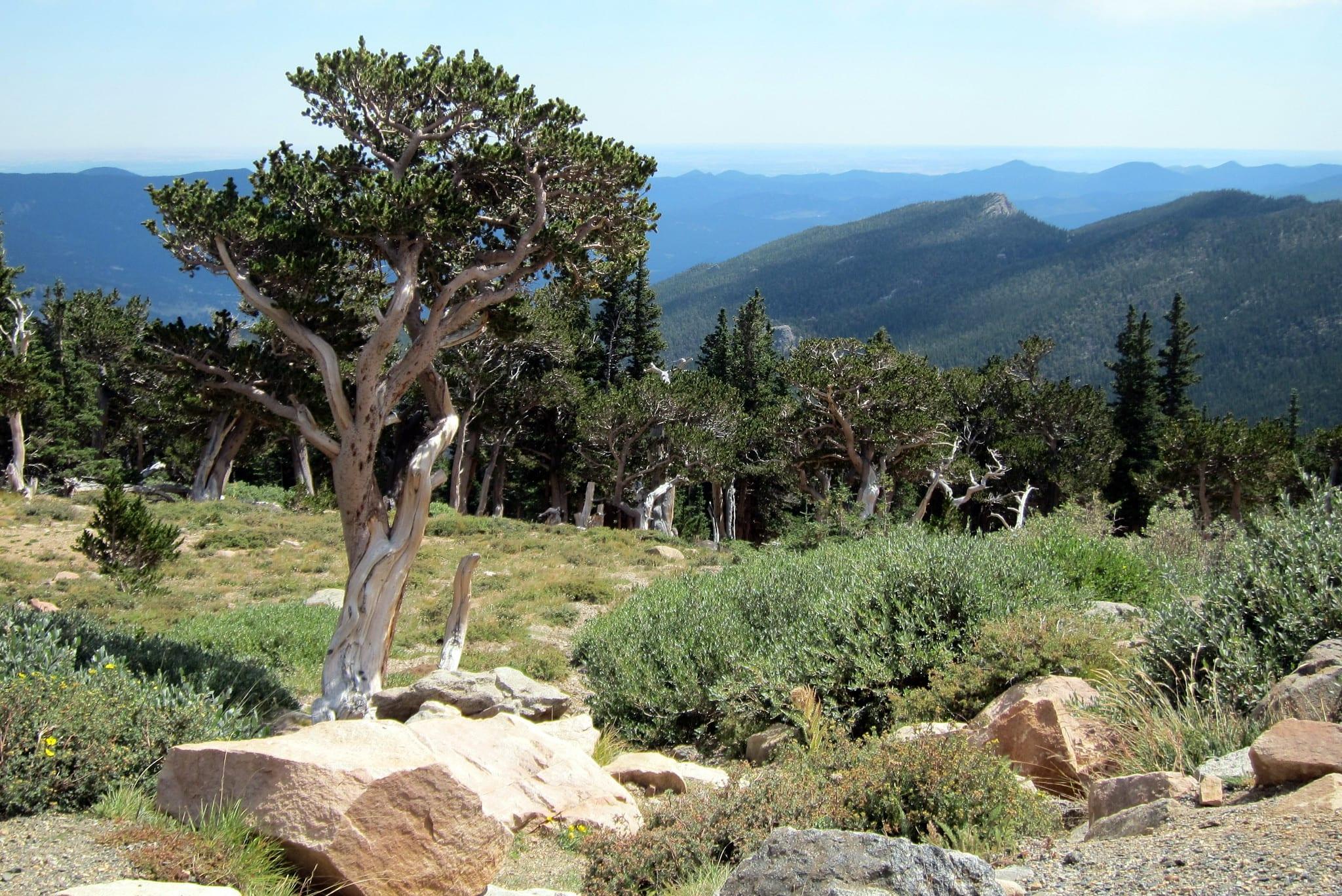 bristlecone pine tree mt. evans