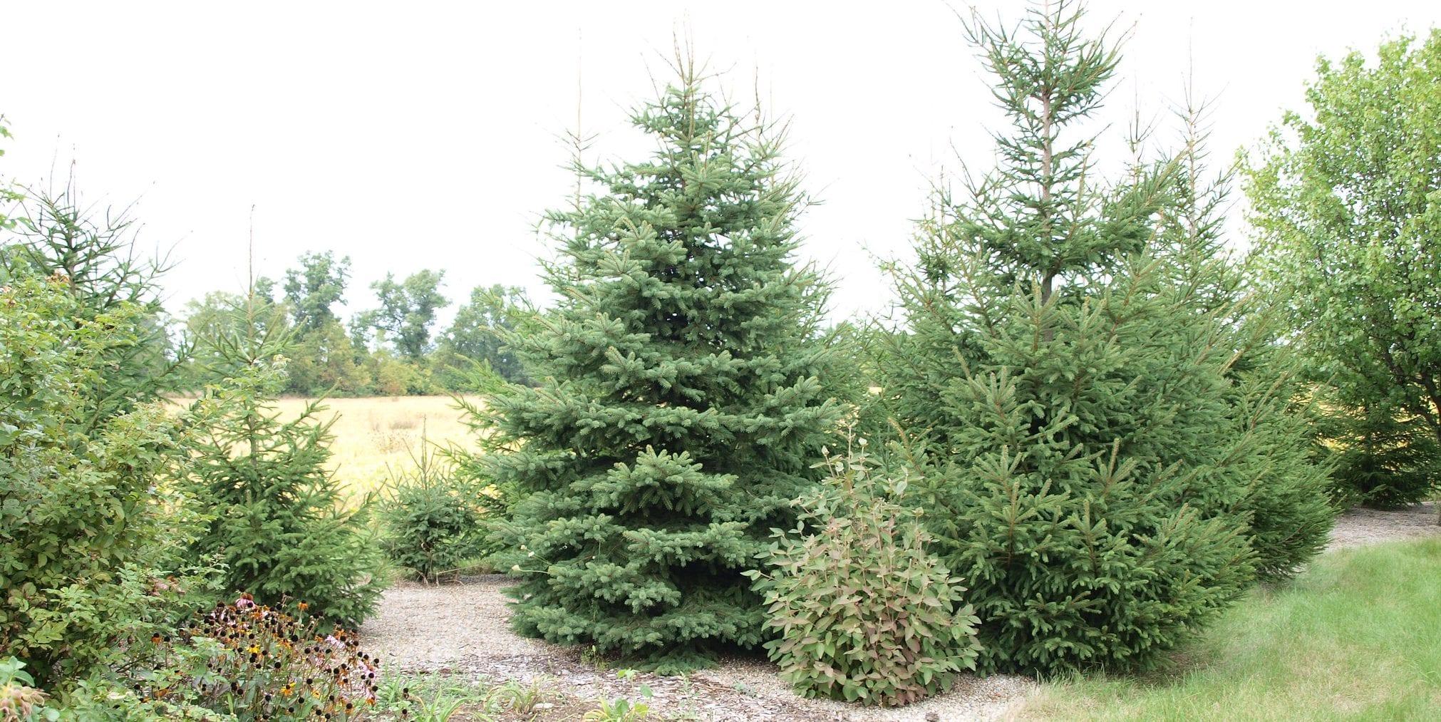 colorado blue spruce