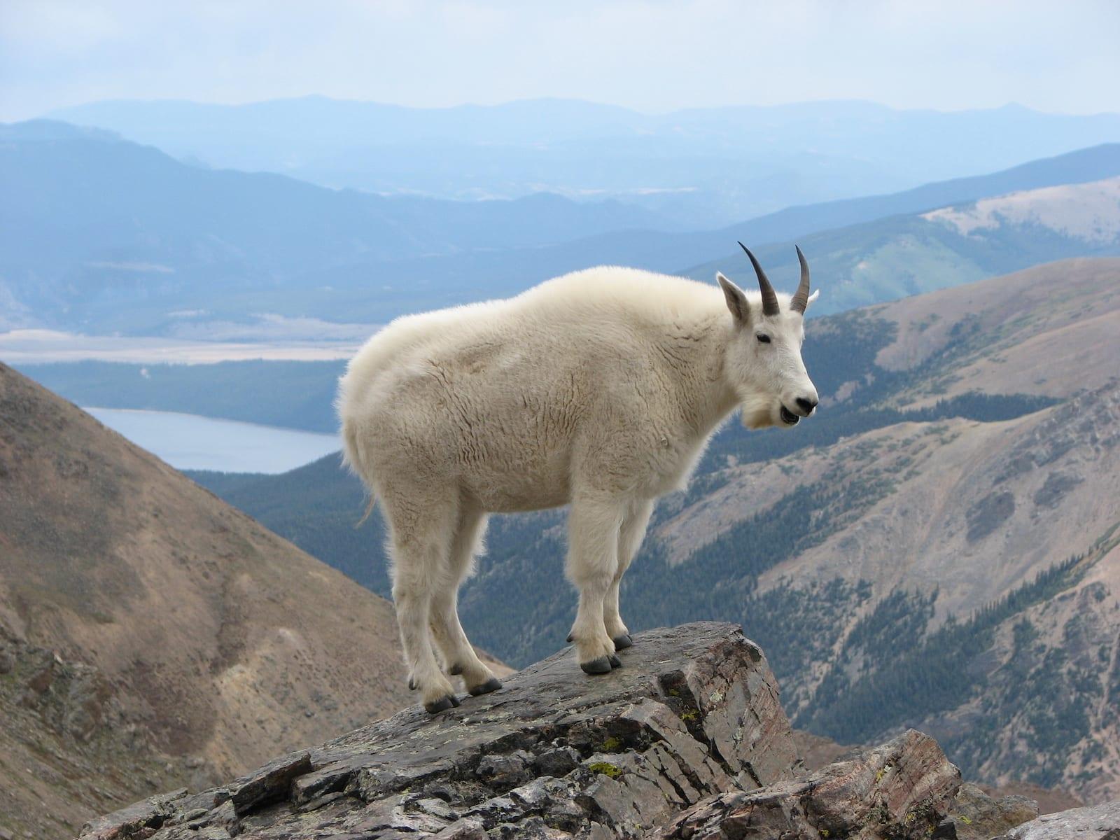 Mountain Goat on Mount Massive Colorado