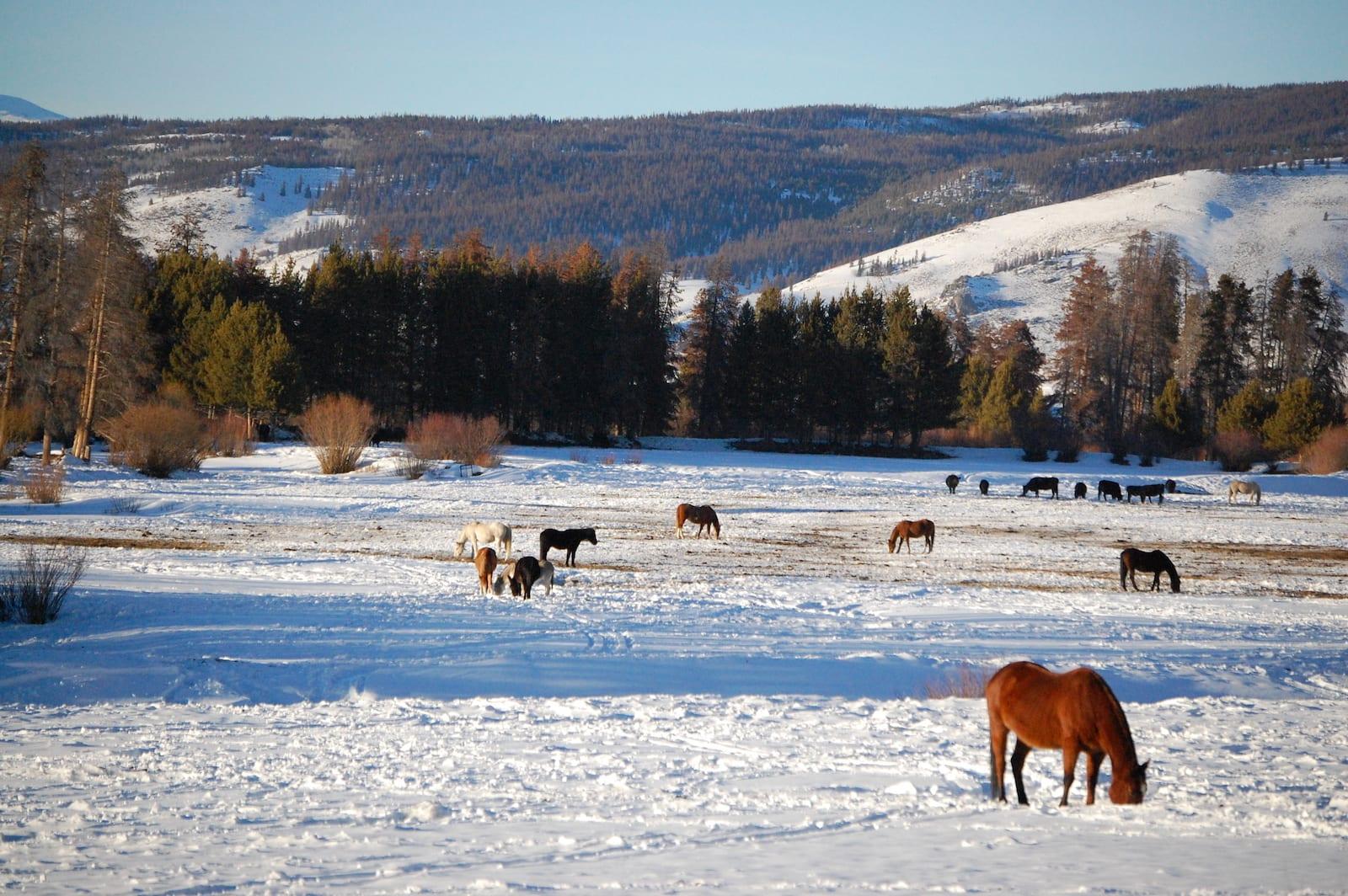 Horses Grazing Fraser CO Winter