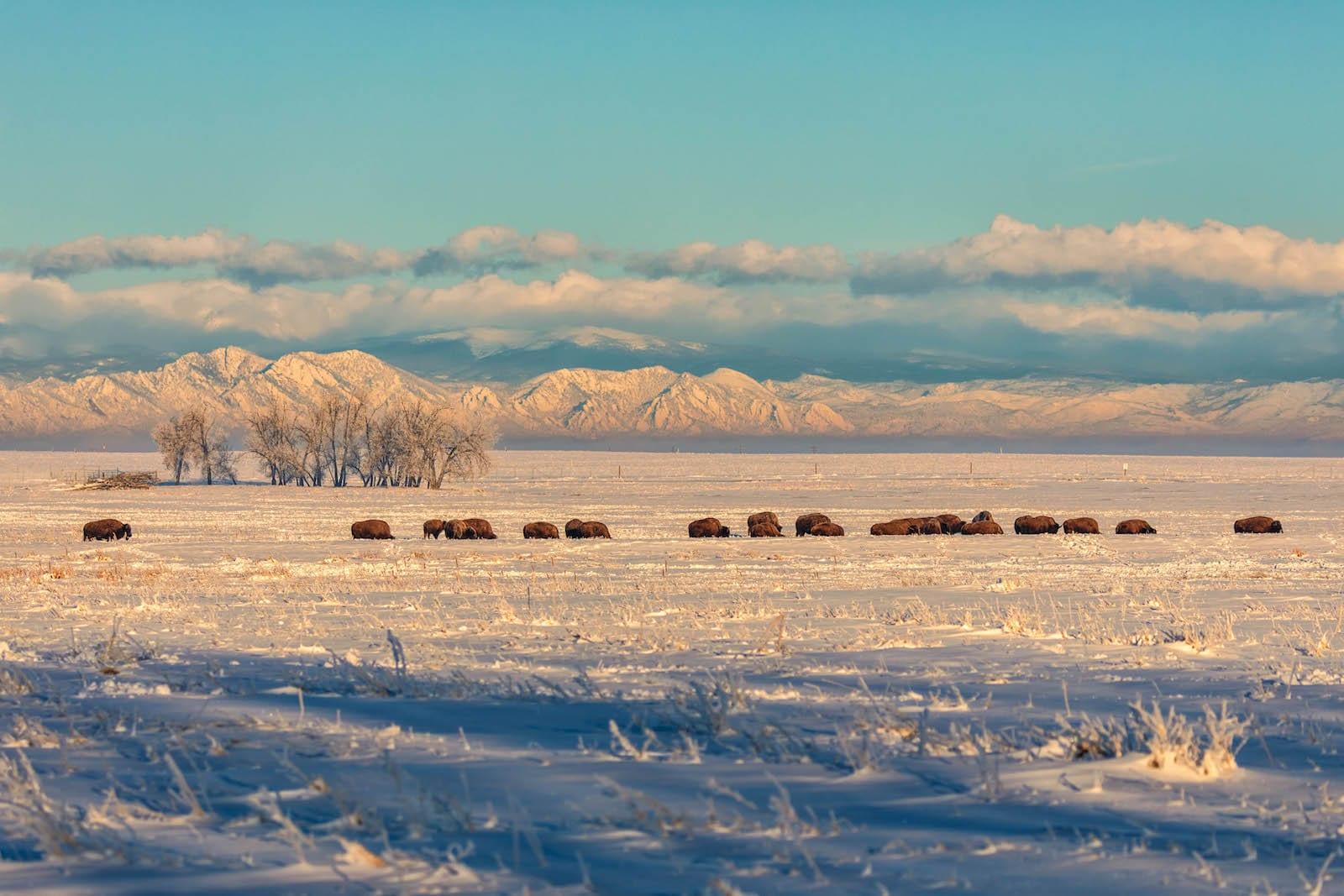 Rocky Mountain Arsenal National Wildlife Refuge Bison Herd Commerce City CO