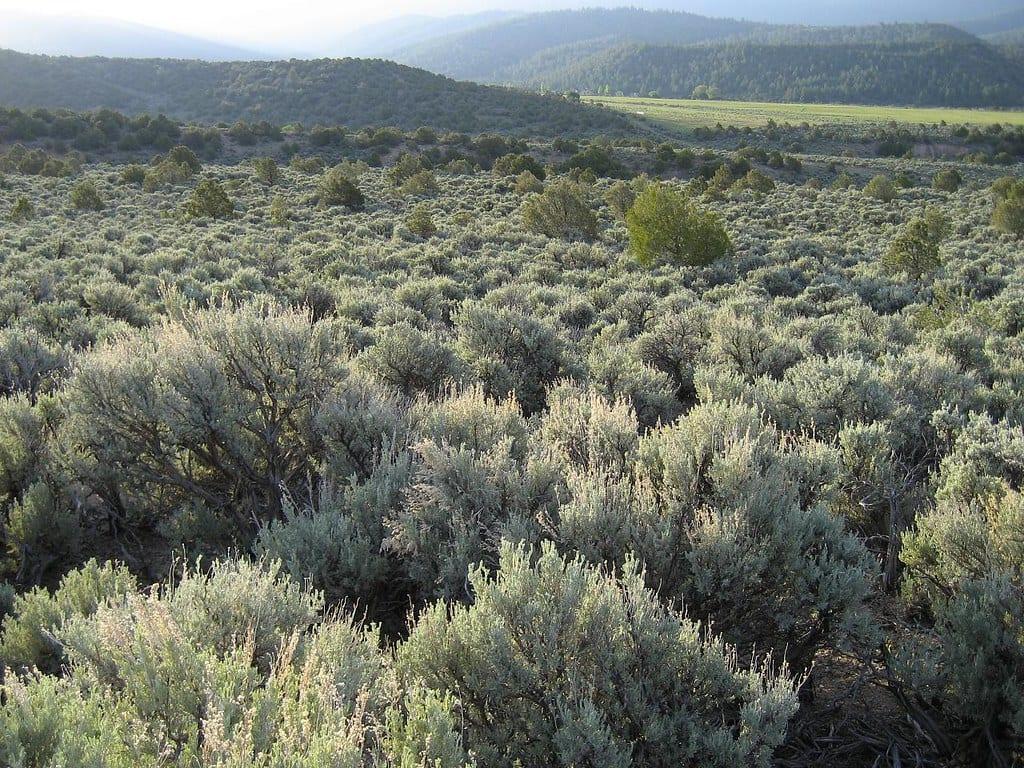 sagebrush in san luis valley