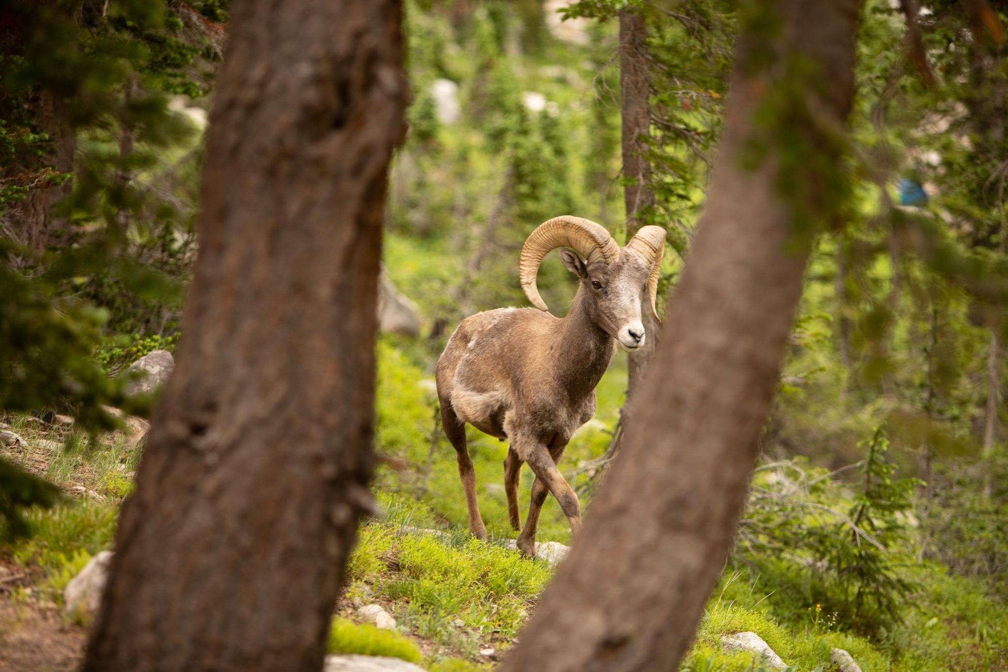 State Forest State Park Bighorn Sheep Wildlife