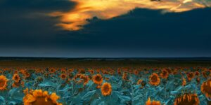sunflower fields at sunset denver international airport