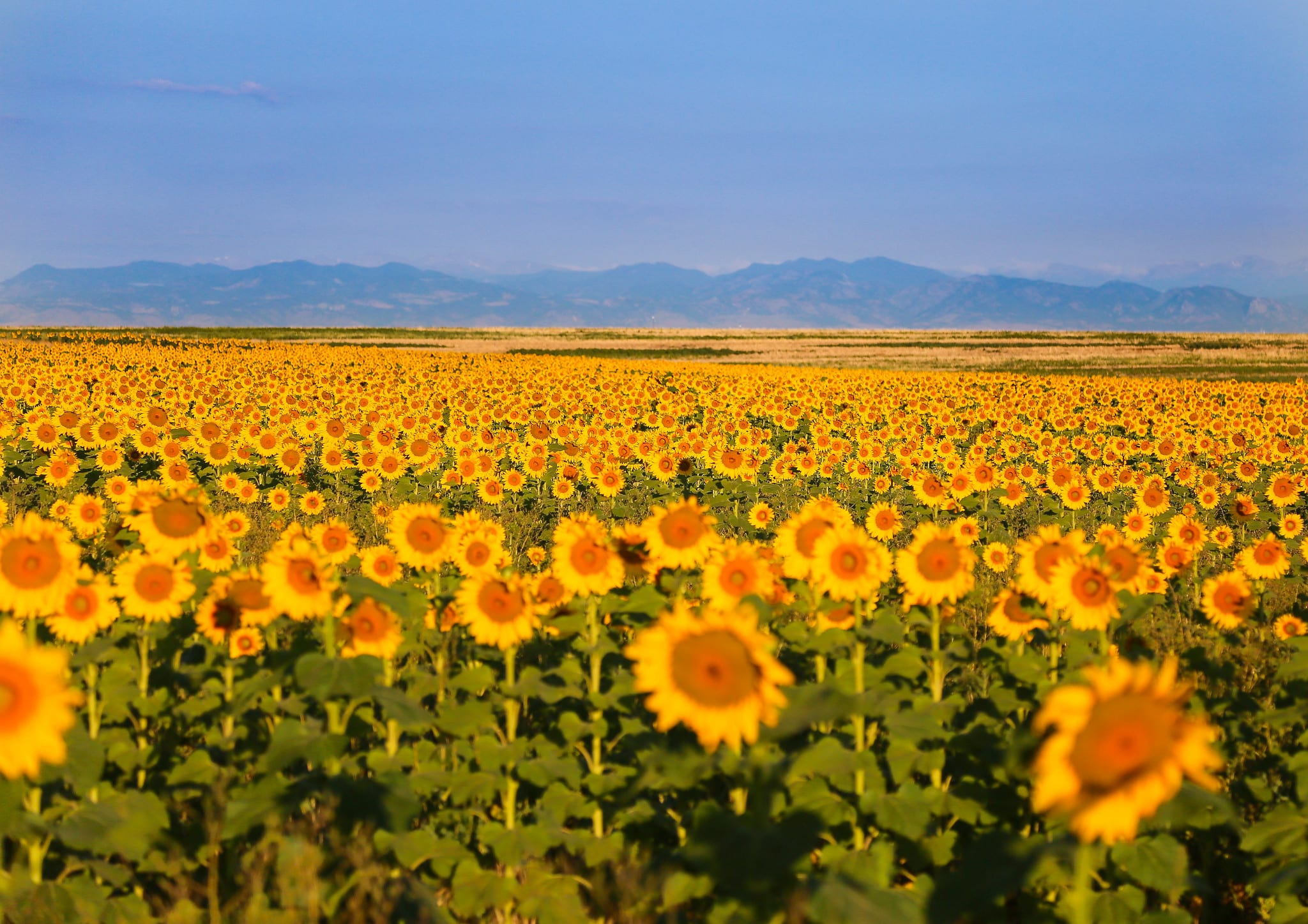 sunflowers at denver international airport