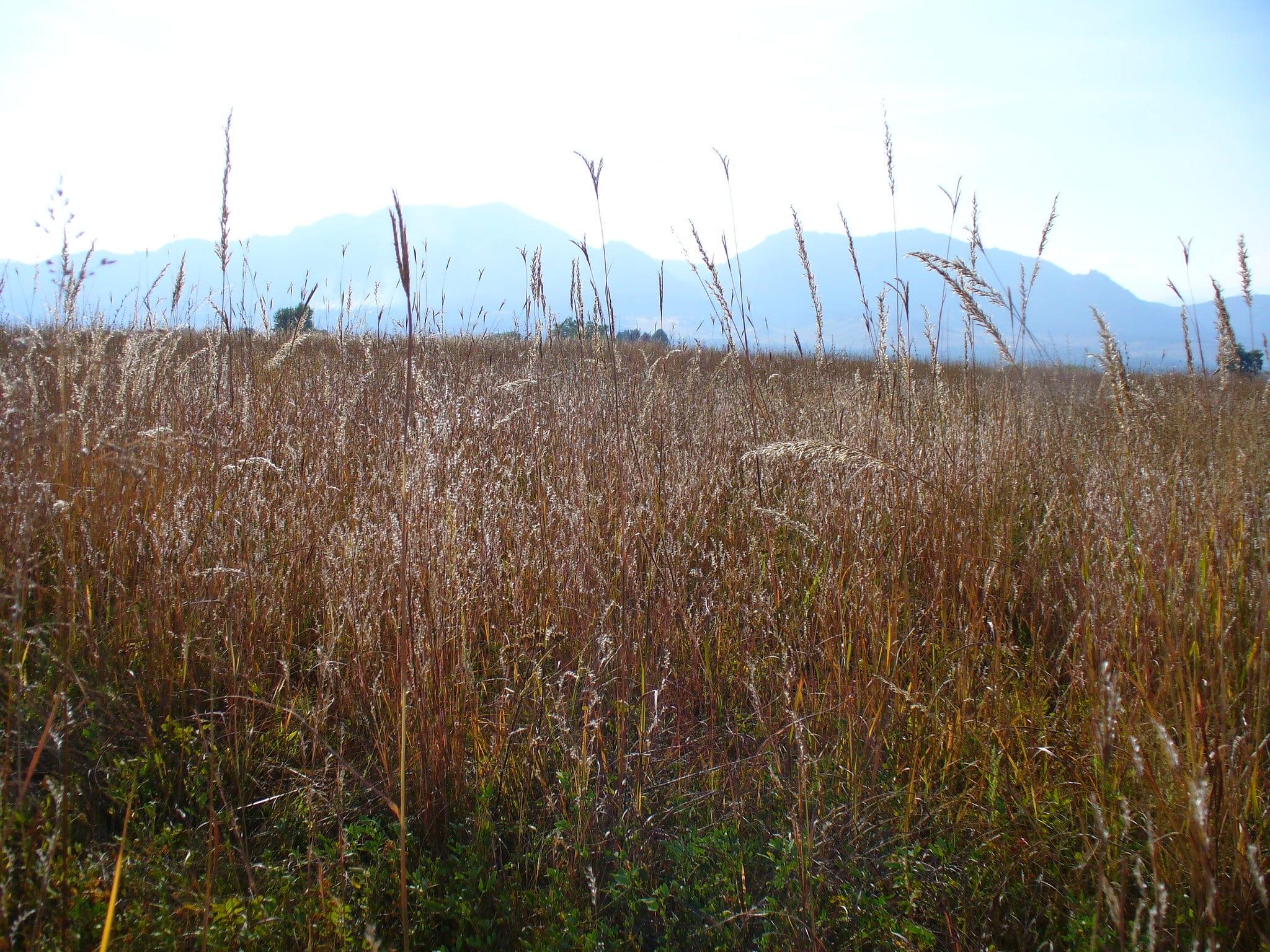 tall grasses in colorado