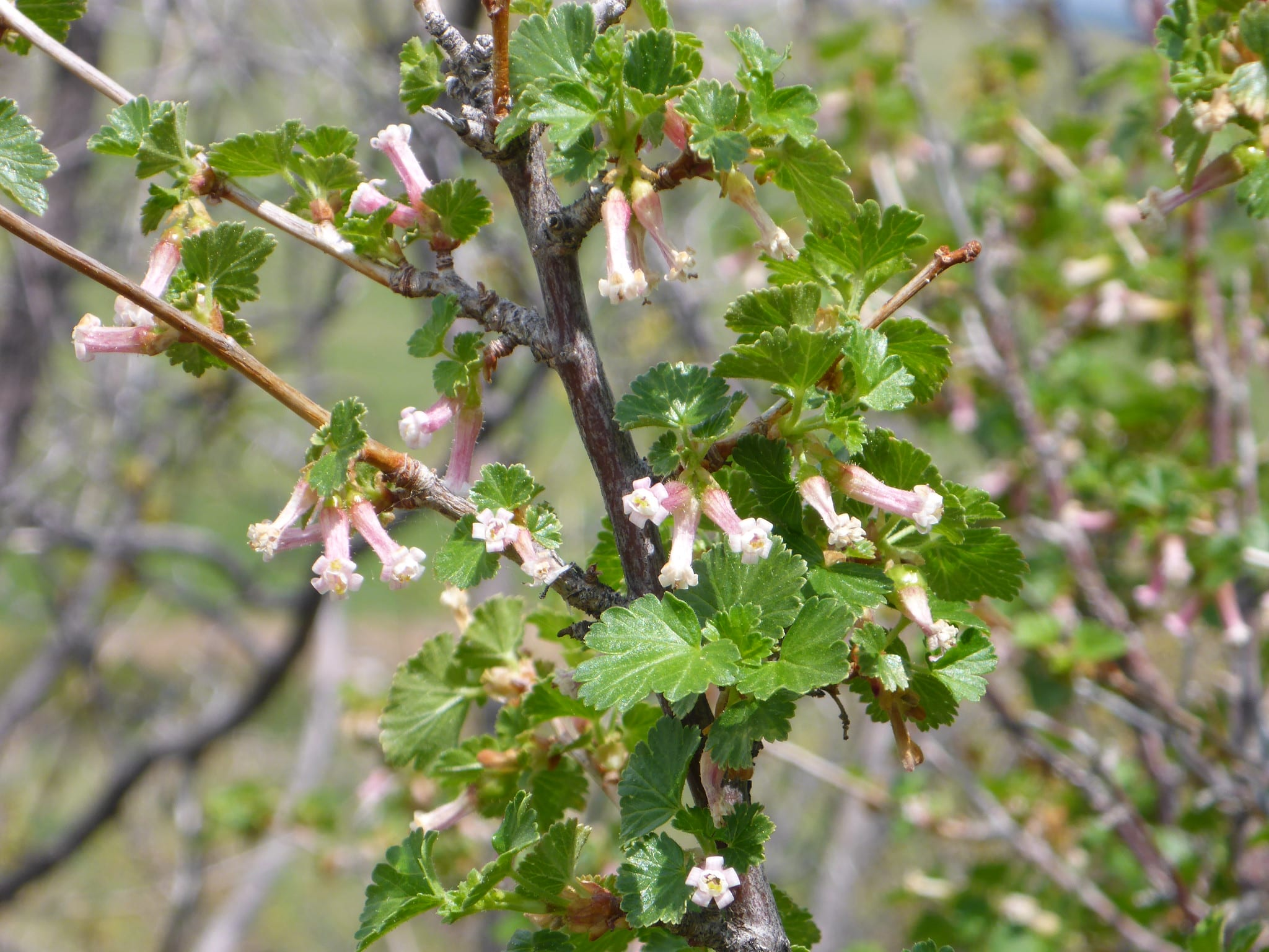 wax currant shrub
