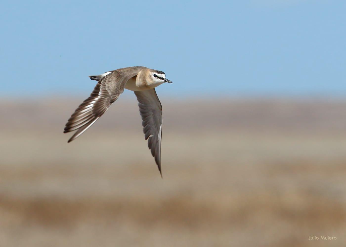Adobe Creek Reservoir SWA Mountain Plover Bird Colorado