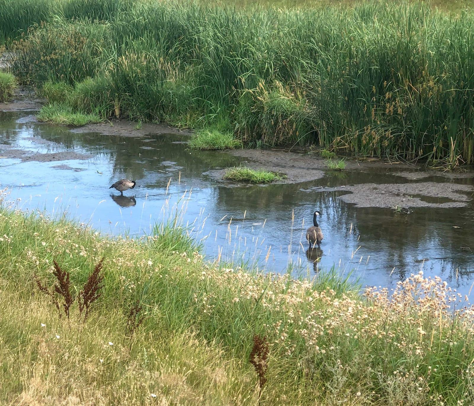 Clear Creek Wheat Ridge Colorado Ducks