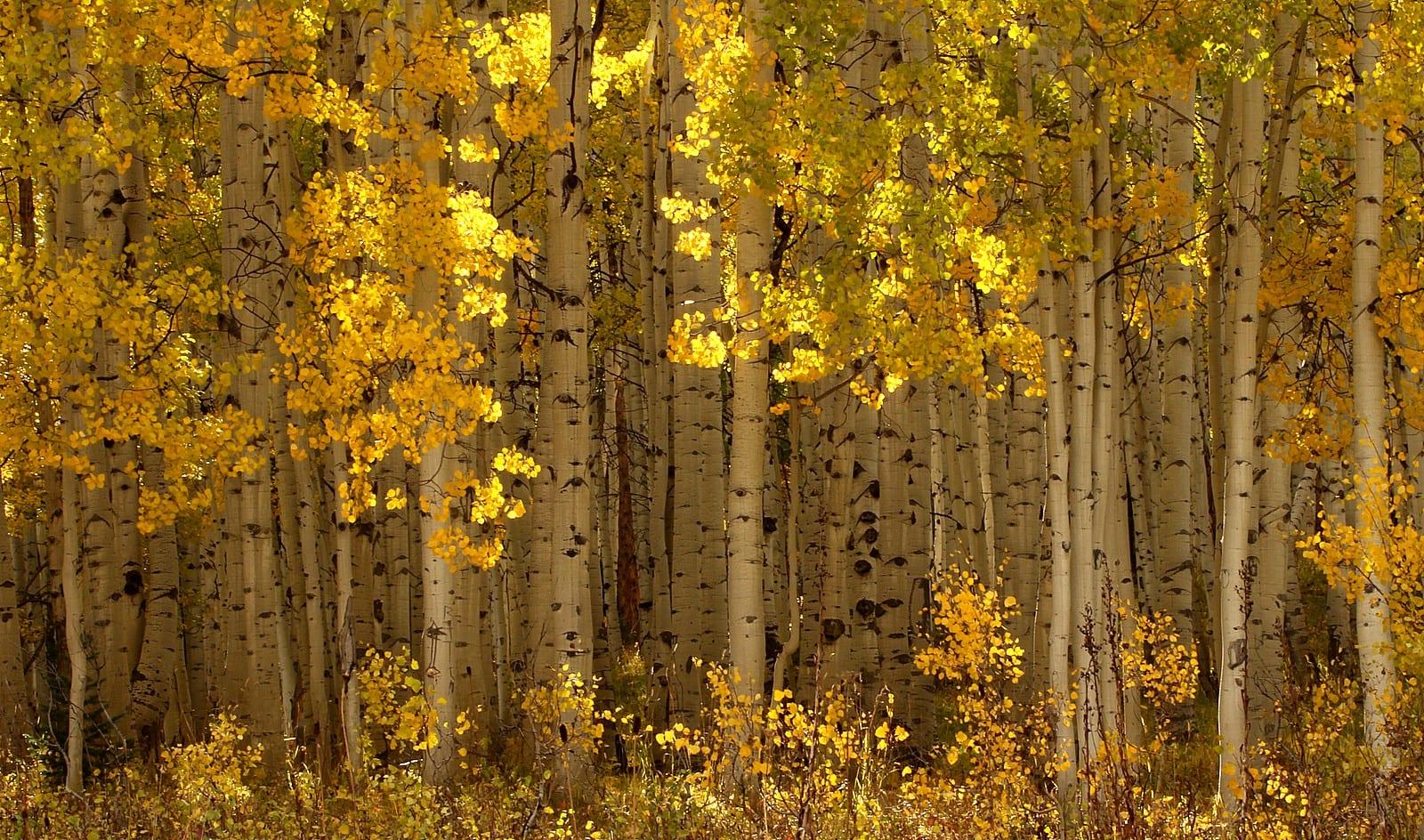 Native Colorado Plants Aspen Grove on Kebler Pass Fall Gold Colors