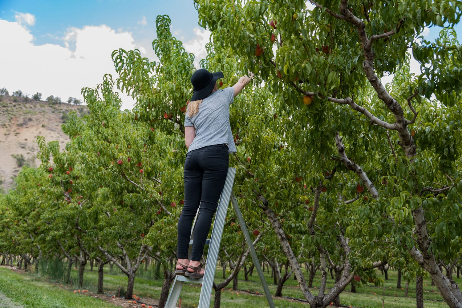 image of picking apples at Big Bs farm