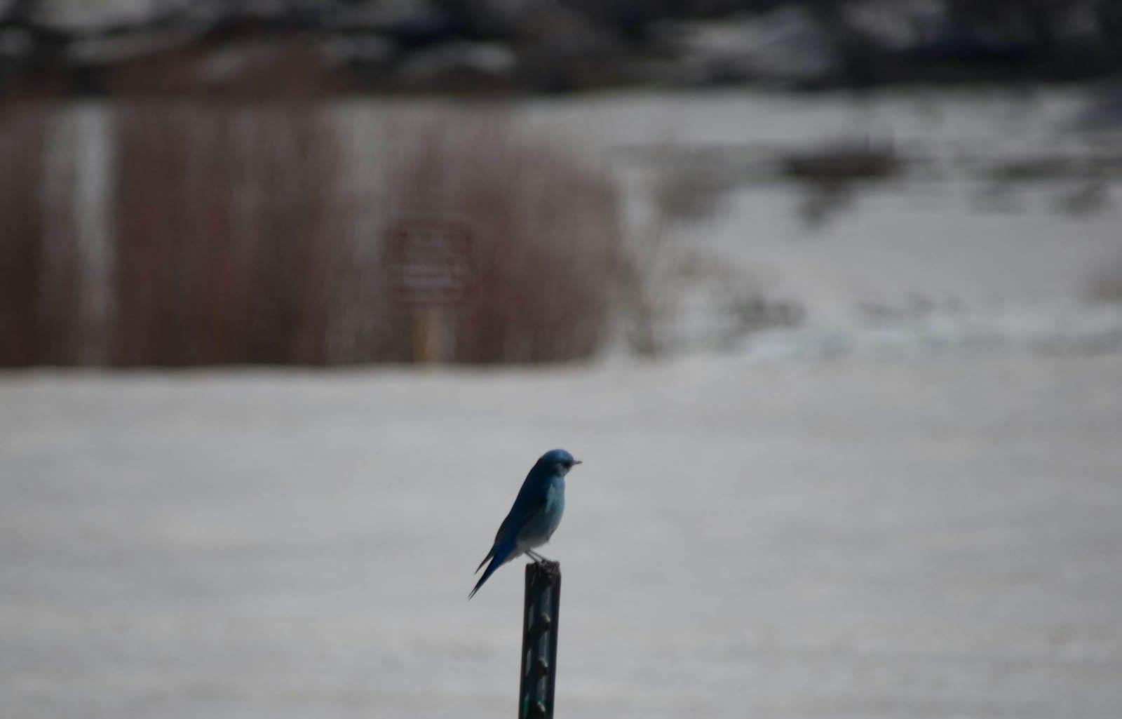 Bluebird at Vega Reservoir Colorado