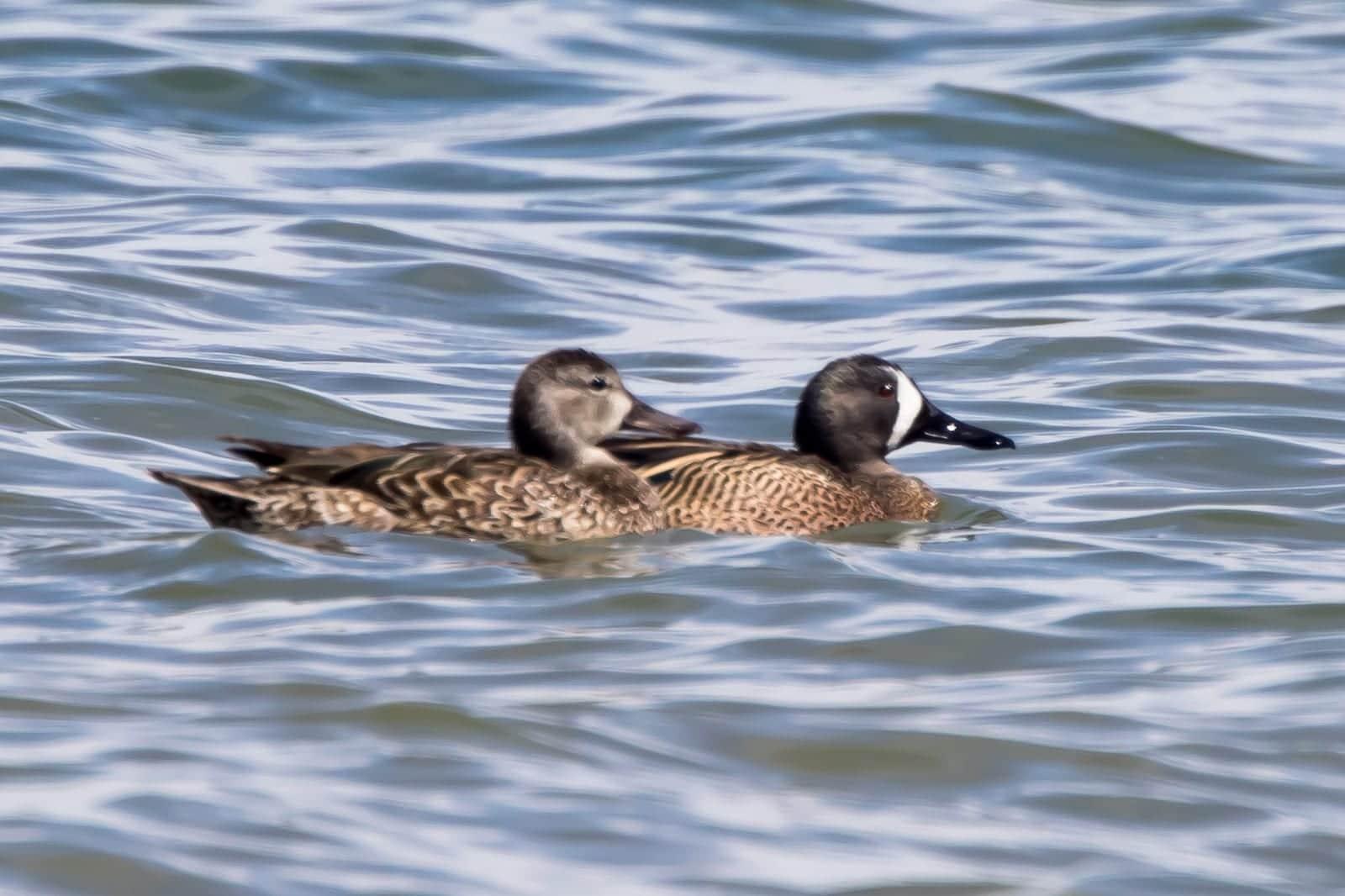Ducks on Lake Meredith Reservoirs Colorado