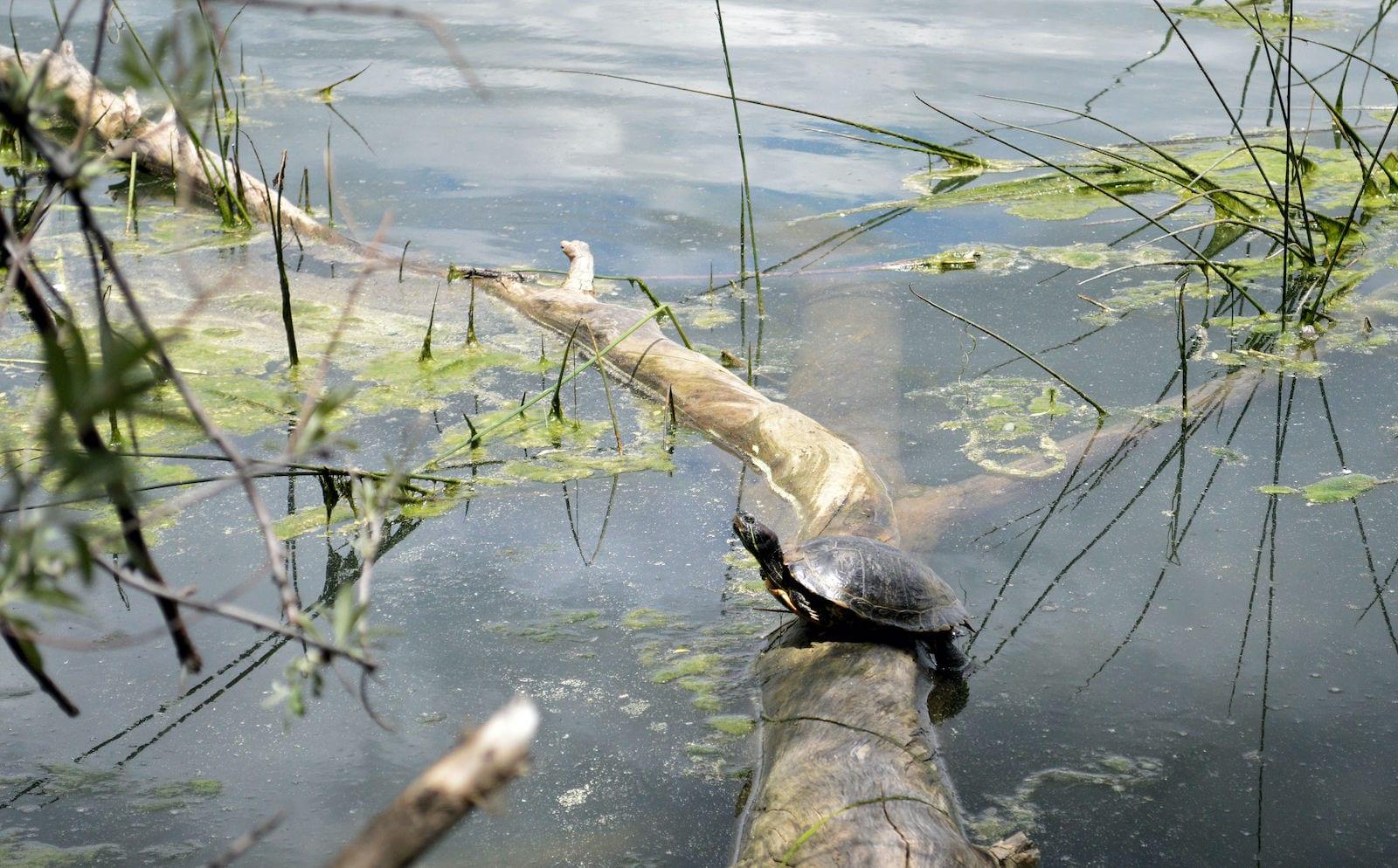 Quail Lake Colorado Springs Turtle