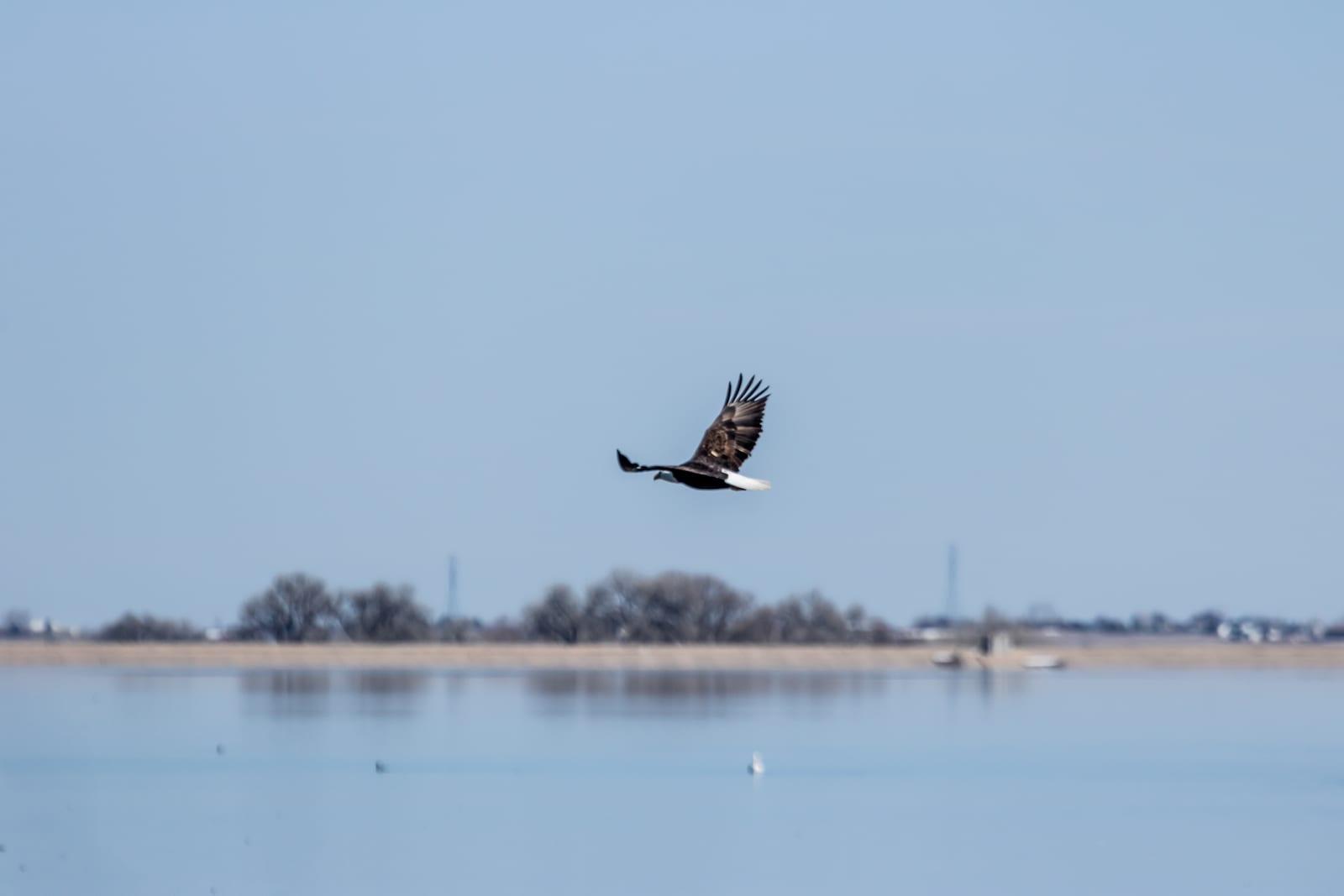 Barr Lake Bald Eagle Colorado