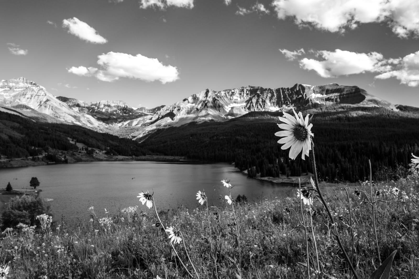 Trout Lake Ophir Colorado Sunflowers