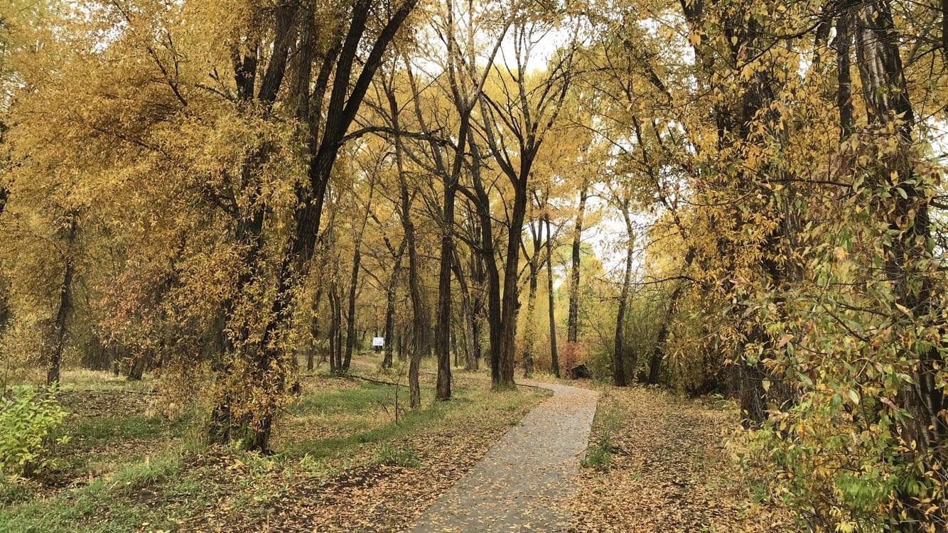 Del Norte CO Rio Grande River Walk Cottonwood Trees