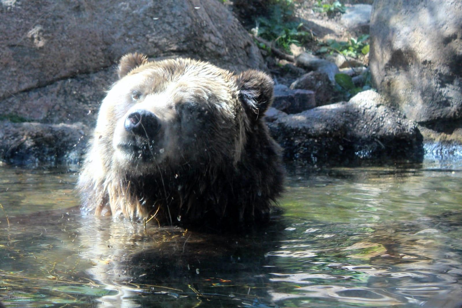Grizzly Bear Cheyenne Mountain Zoo Colorado Springs