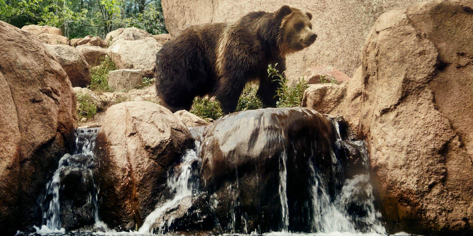 Grizzly Bear Colorado Springs Cheyenne Mountain Zoo