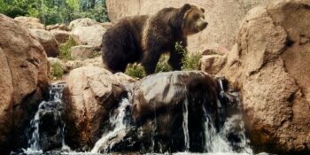 Grizzly Bear Colorado Springs Cheyenne Mountain Zoo