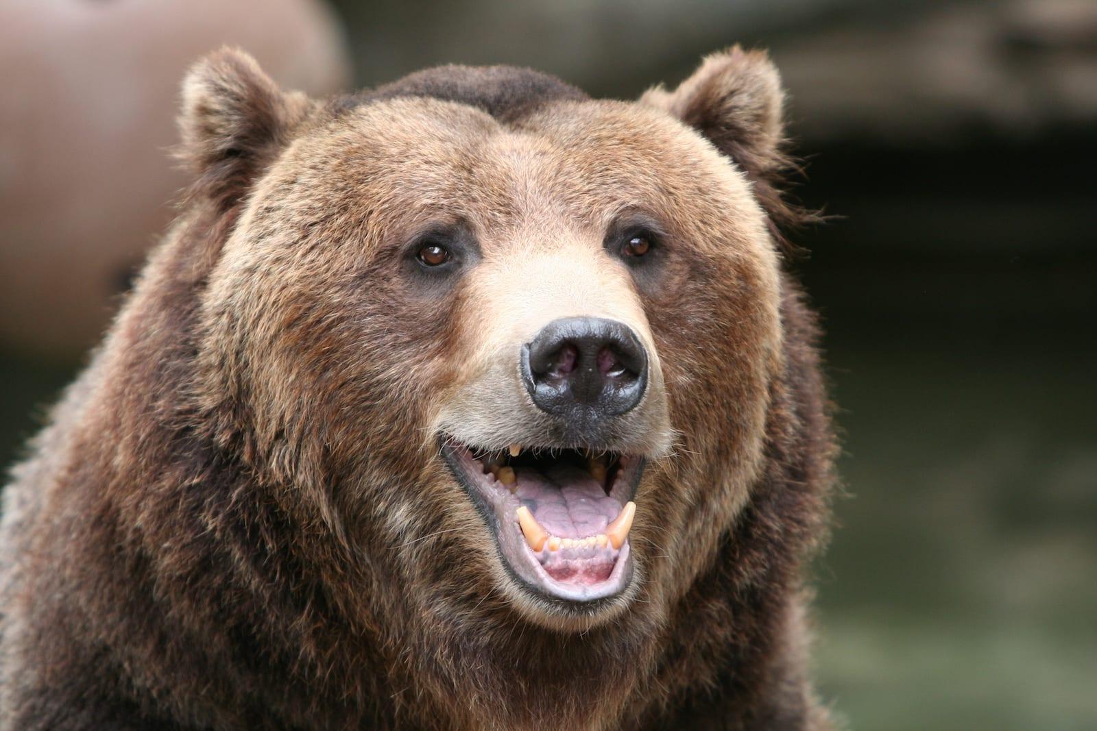 Grizzly Bear Denver Zoo Colorado