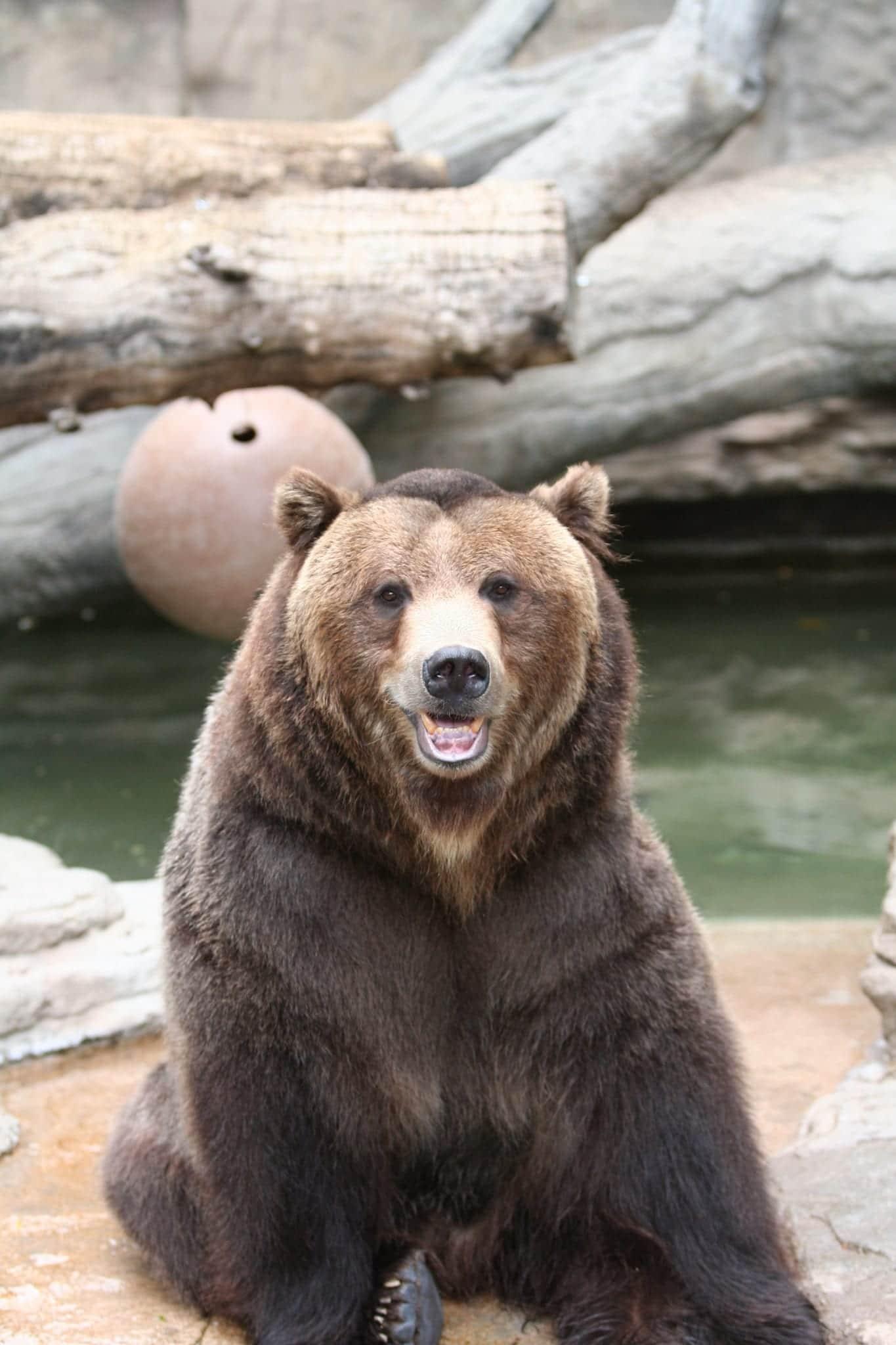 Grizzly Bear Denver Zoo Colorado Portrait
