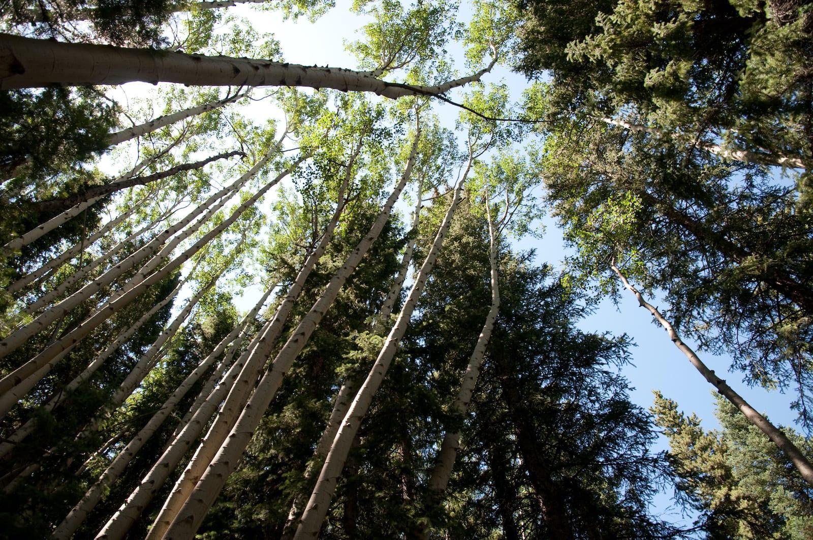 Weller Lake Aspen Trees Colorado