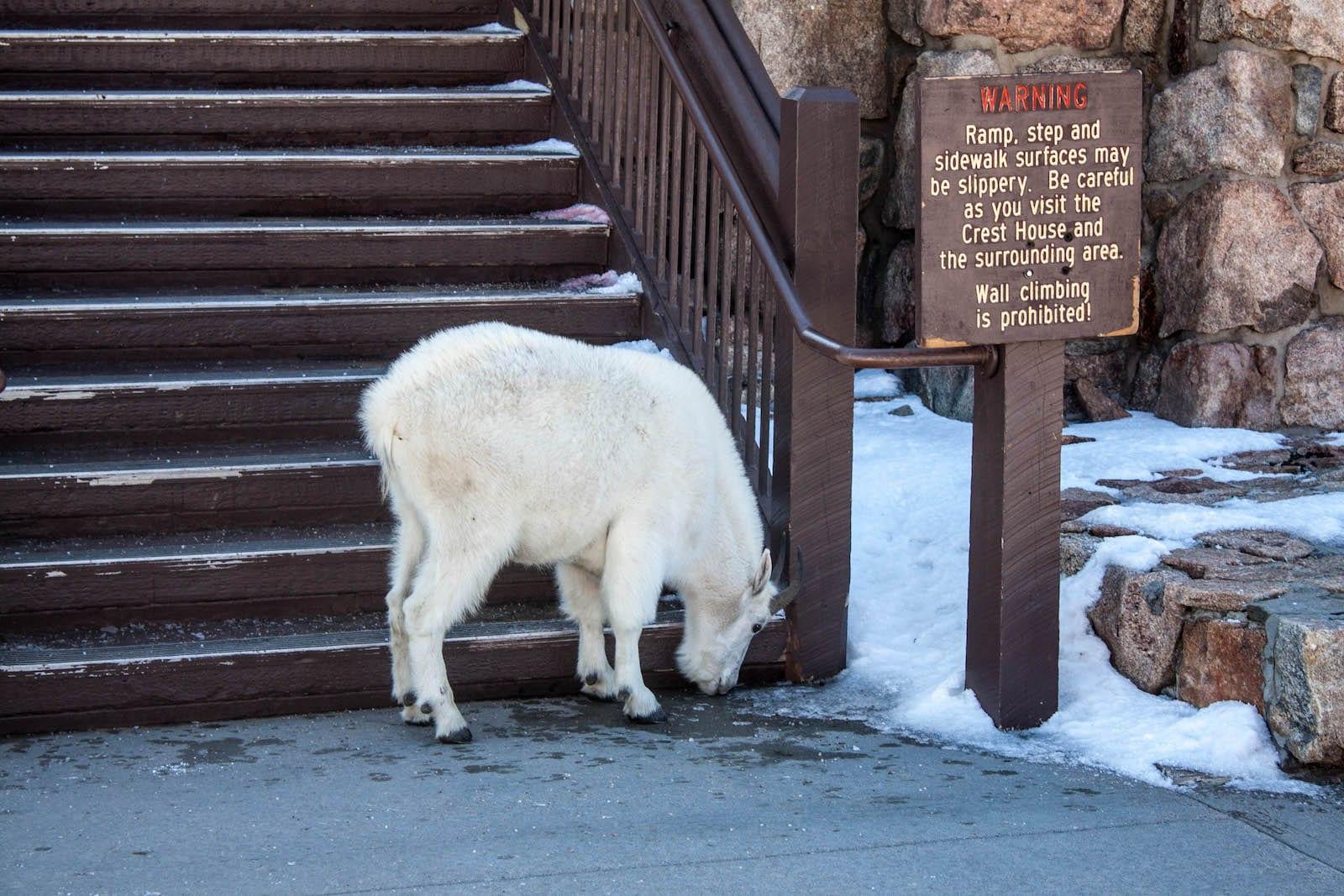 Mount Evans Hike Mountain Goat