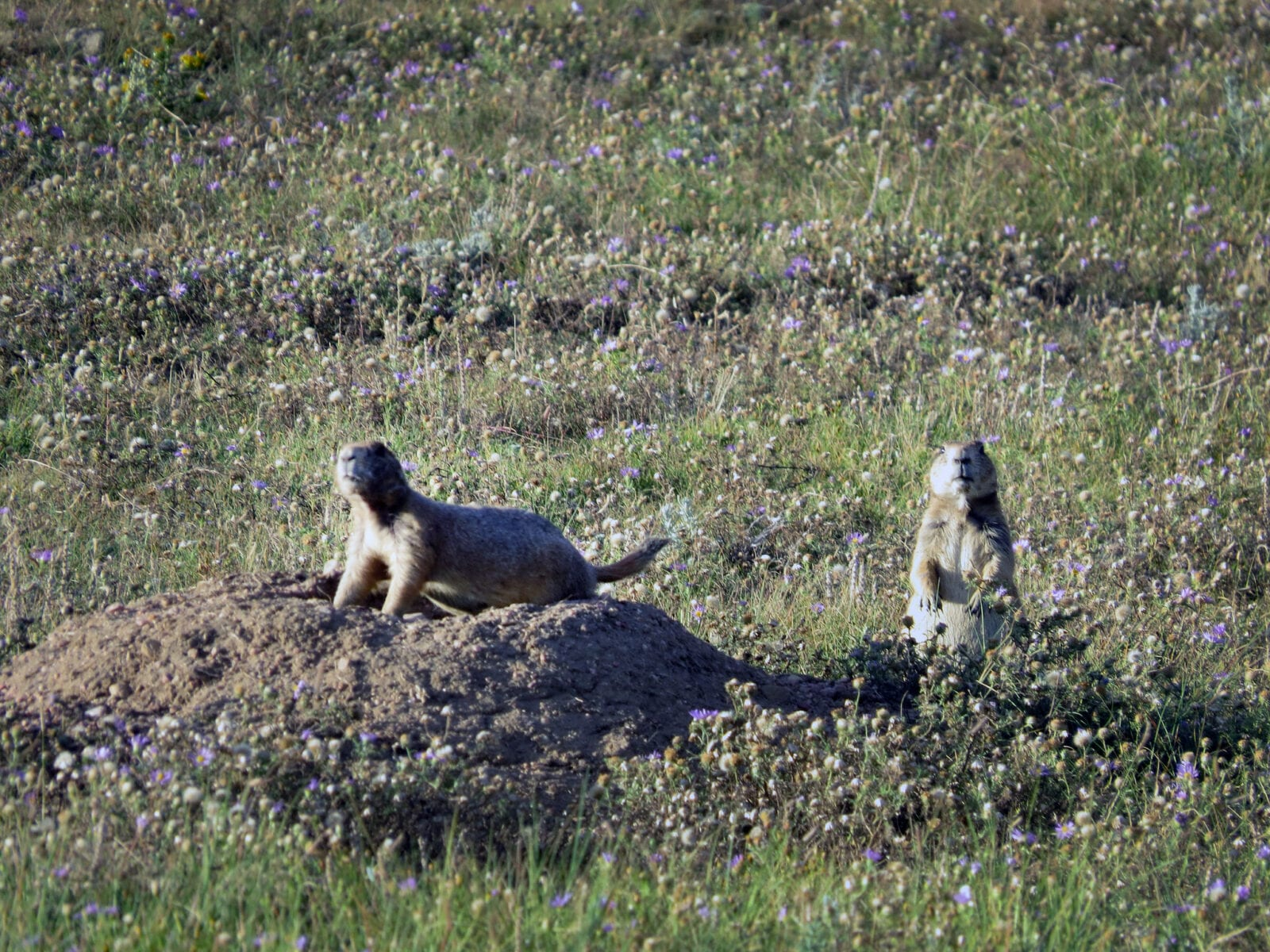 Image of prairie dogs at Soapstone Prairie Natural Area in Fort Collings, Colorado