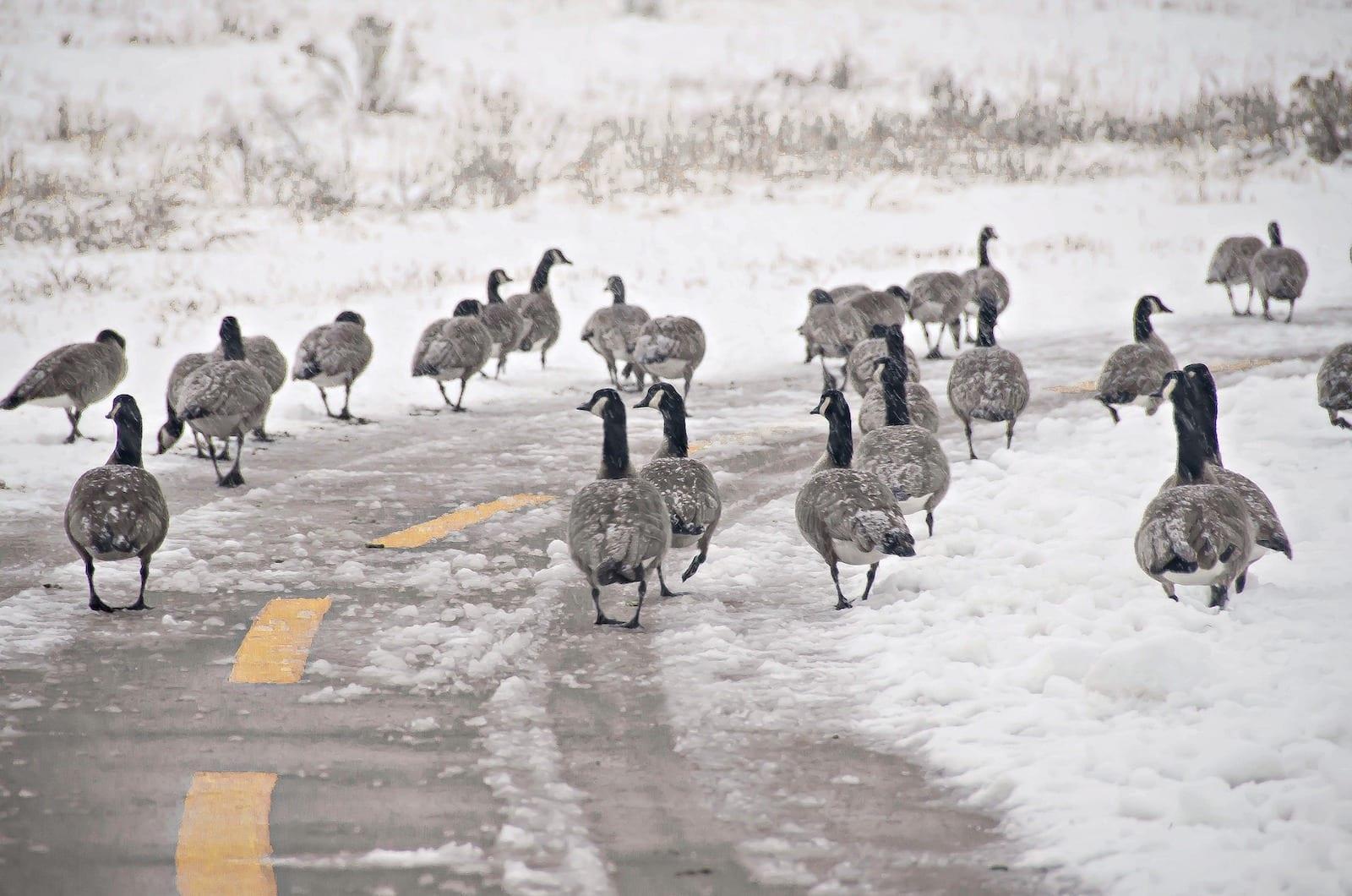 Geese on Walking and Biking Trails South Platte Park Littleton CO