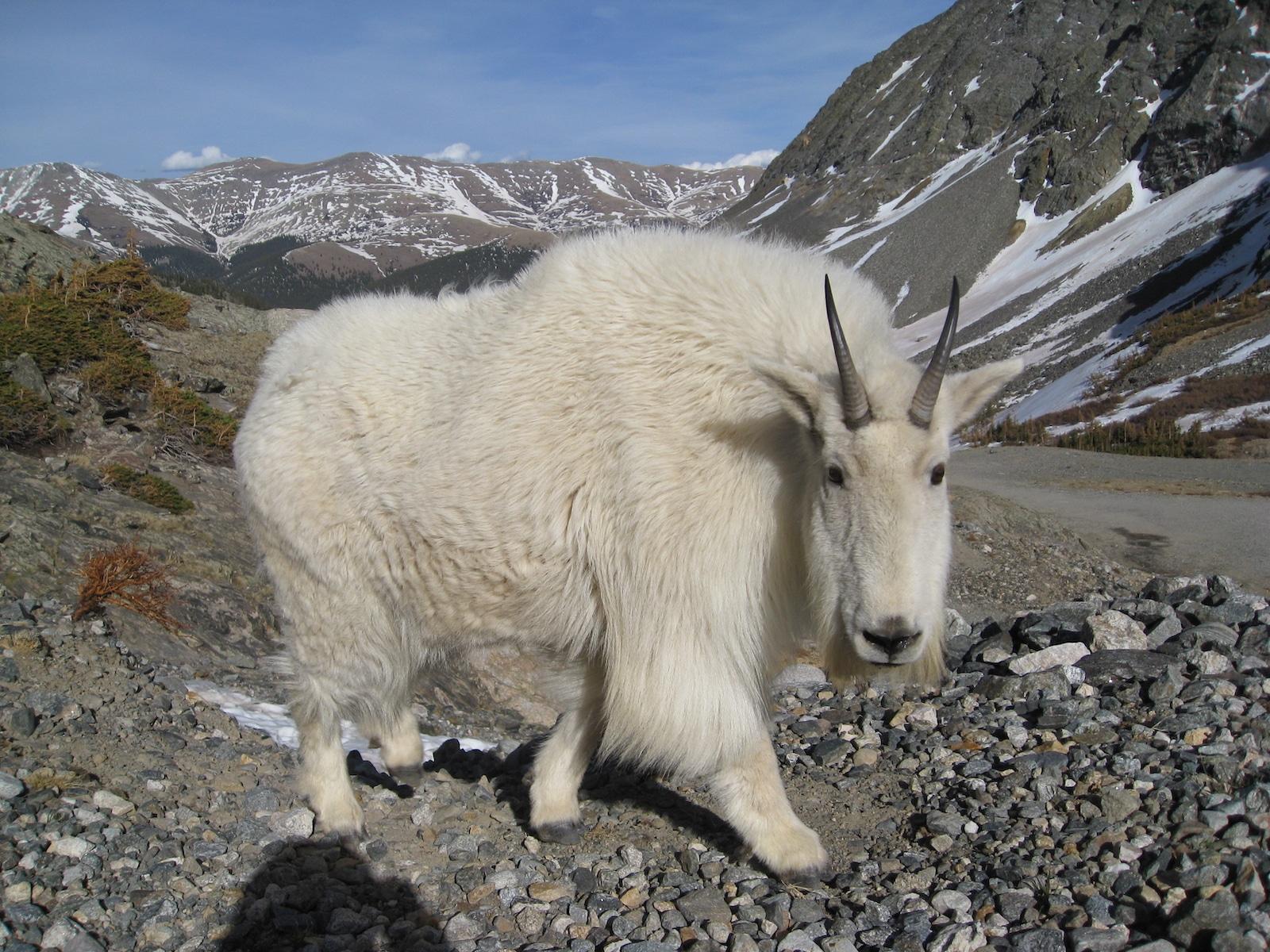 Quandary Peak Mountain Goat