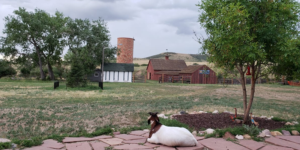 Image of a goat lounging at Schweiger Ranch in Lone Tree, Colorado