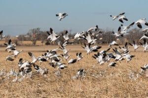 image of snow geese in lamar