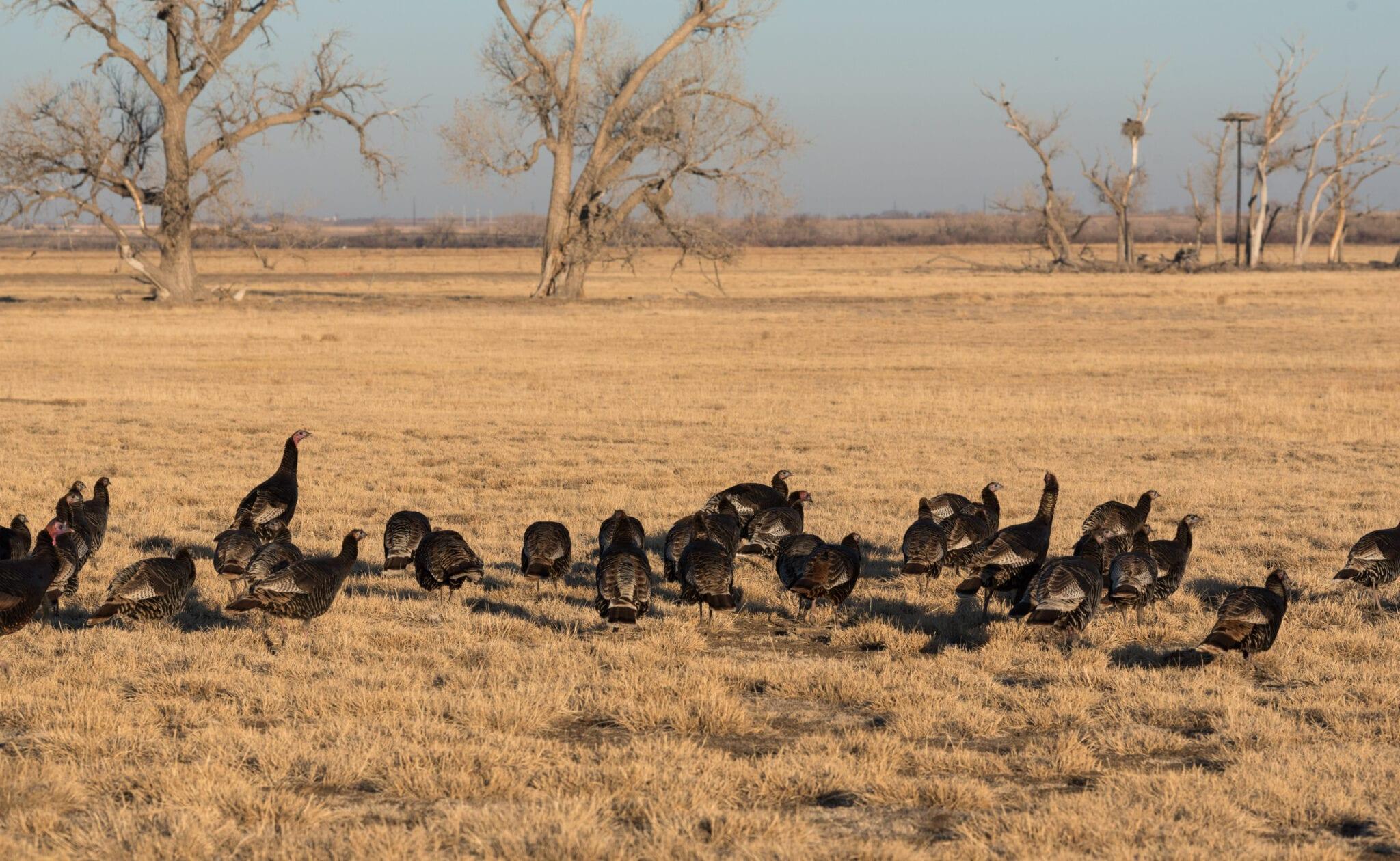 image of wild turkeys