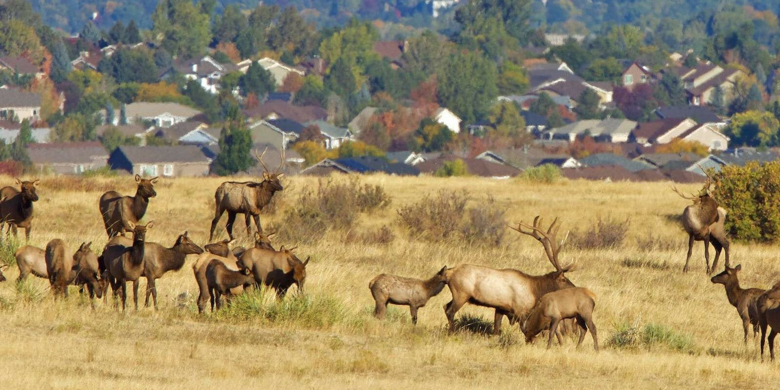 Image of elk in the Highlands Ranch Wilderness Area in Colorado