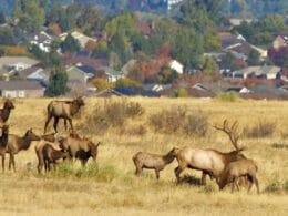 Image of elk in the Highlands Ranch Wilderness Area in Colorado
