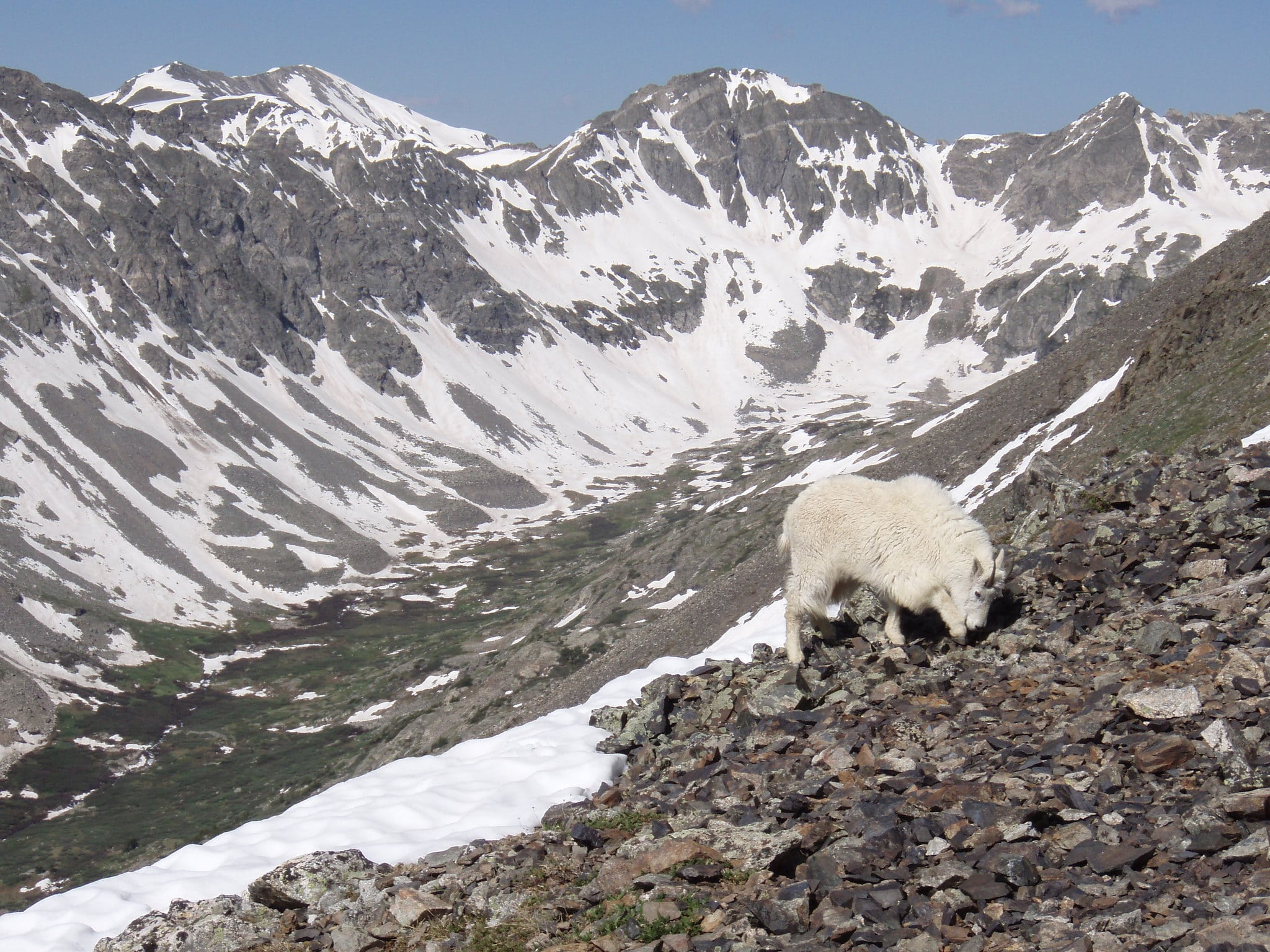image of goat on quandary peak