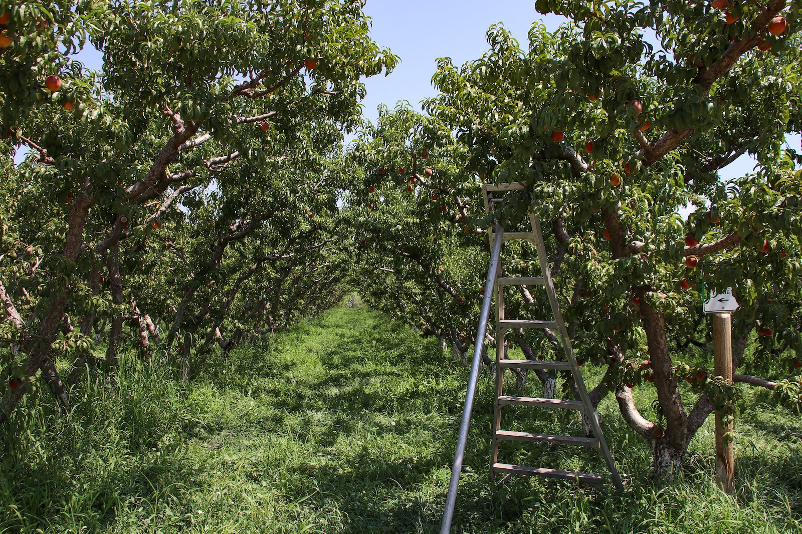 Image of an orchard on the Fruit & Wine Byway in Palisade, Colorado