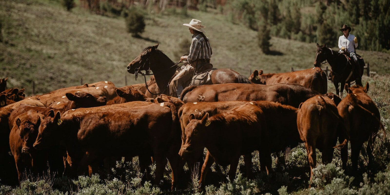 Image of cattle being herded at C Lazy U Ranch in Granby, Colorado