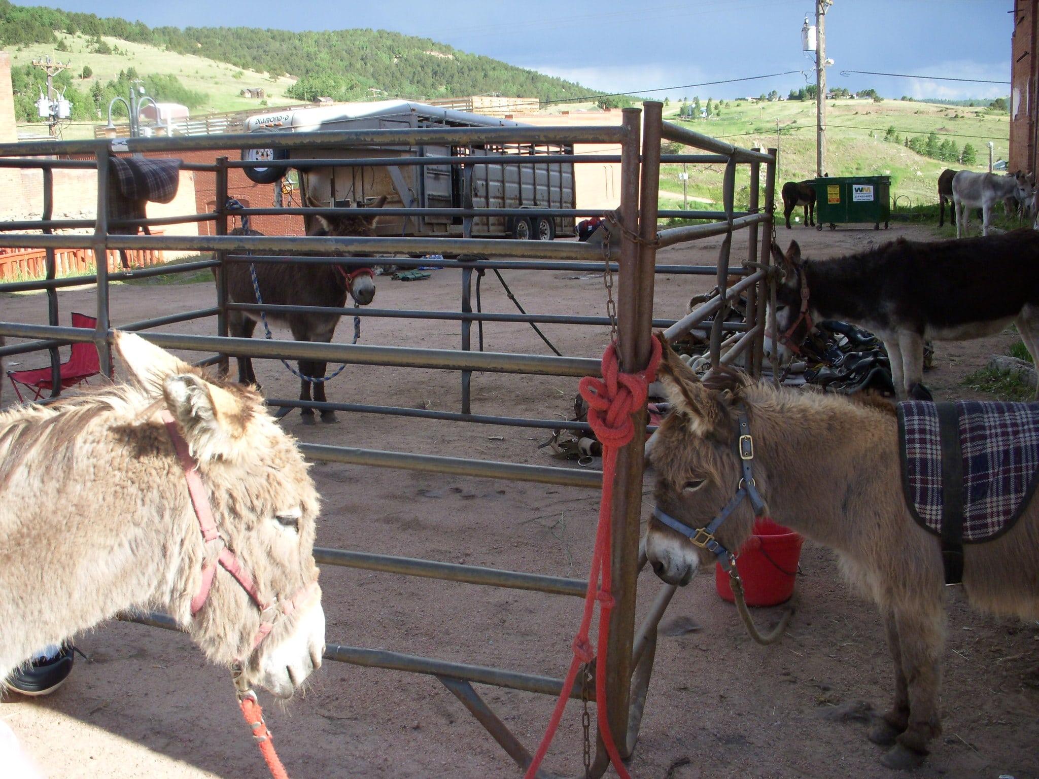 image of cripple creek donkeys