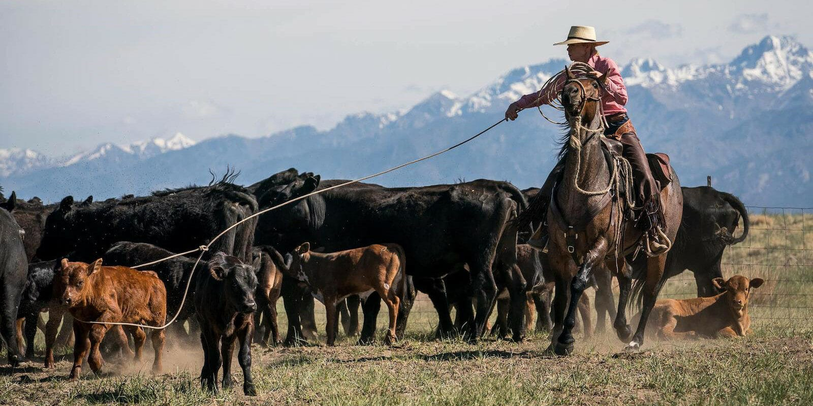 Image of a person herding cattle at Ranchlands Zapata Ranch in Mosca, Colorado