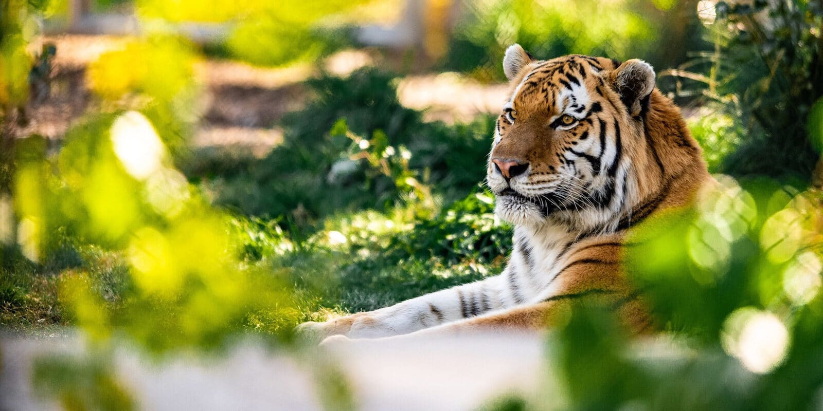 Image of a tier at the Denver Zoo